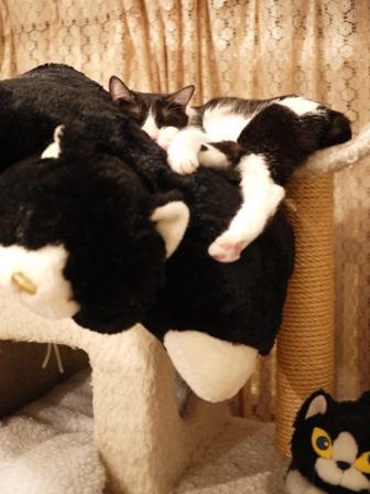 ふわふわねんねこ時間猫 みるきぃ編。_a0143140_23105019.jpg