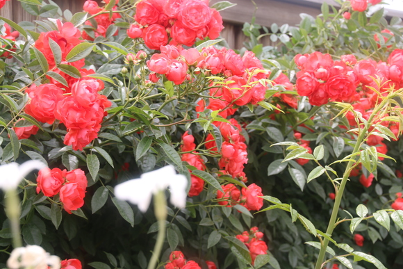 SKY140519 バラが咲いた・・・・・・_d0288367_18224535.jpg