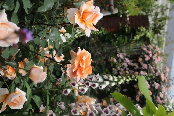 SKY140519 バラが咲いた・・・・・・_d0288367_18232778.jpg
