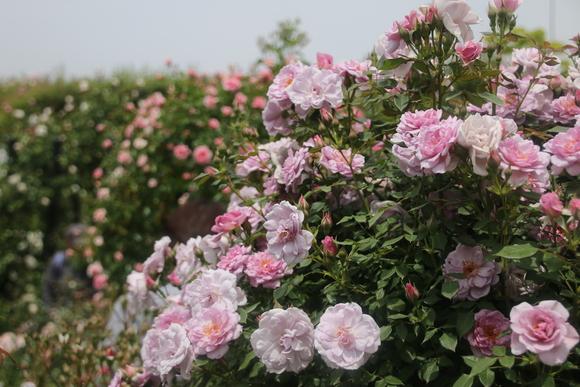 SKY140519 バラが咲いた・・・・・・_d0288367_1825217.jpg