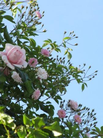 小さな庭のバラが見ごろになりました~_a0243064_0373289.jpg