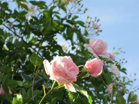小さな庭のバラが見ごろになりました~_a0243064_0385961.jpg
