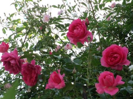 小さな庭のバラが見ごろになりました~_a0243064_0414089.jpg