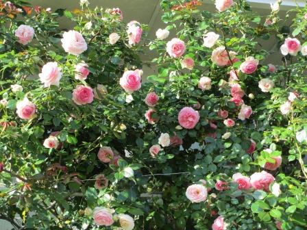 小さな庭のバラが見ごろになりました~_a0243064_0434174.jpg