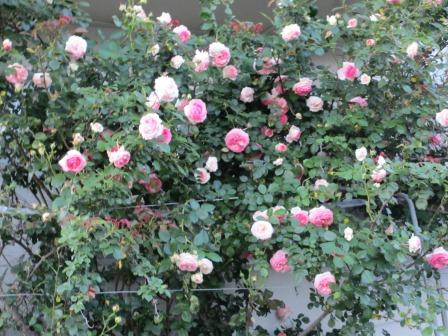 小さな庭のバラが見ごろになりました~_a0243064_0443789.jpg