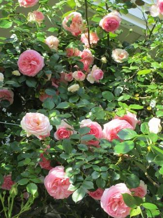 小さな庭のバラが見ごろになりました~_a0243064_04487.jpg