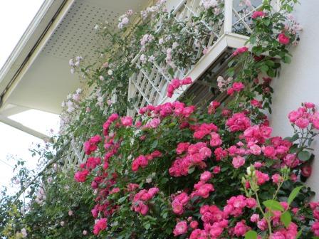 小さな庭のバラが見ごろになりました~_a0243064_047332.jpg