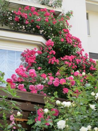 小さな庭のバラが見ごろになりました~_a0243064_049618.jpg