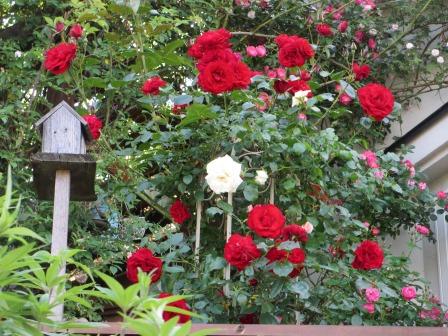 小さな庭のバラが見ごろになりました~_a0243064_0502483.jpg