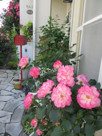 小さな庭のバラが見ごろになりました~_a0243064_10124.jpg