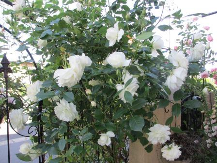 小さな庭のバラが見ごろになりました~_a0243064_103174.jpg