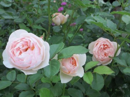 小さな庭のバラが見ごろになりました~_a0243064_143412.jpg
