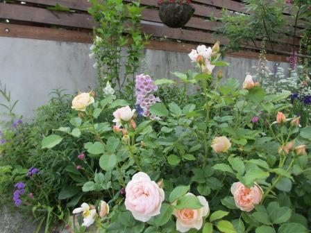 小さな庭のバラが見ごろになりました~_a0243064_173879.jpg