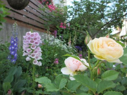 小さな庭のバラが見ごろになりました~_a0243064_1975.jpg