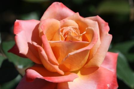 智光山公園のバラ苑_a0117168_11202026.jpg