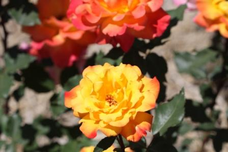 智光山公園のバラ苑_a0117168_11203094.jpg