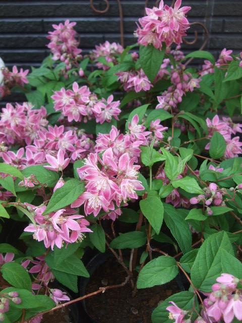 オークリーフ(5月の花たち)_f0049672_17481459.jpg