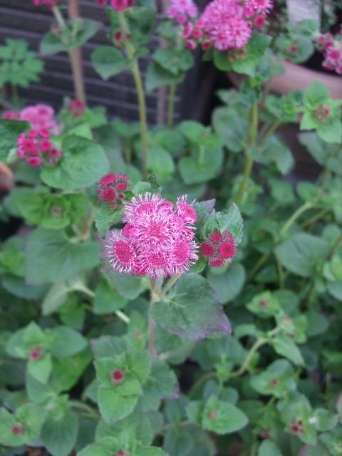 オークリーフ(5月の花たち)_f0049672_174832100.jpg