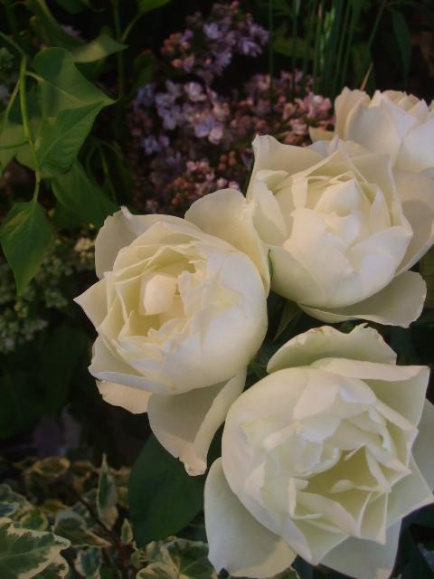 オークリーフ(5月の花たち)_f0049672_1757193.jpg