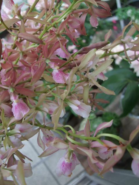オークリーフ(5月の花たち)_f0049672_1759117.jpg