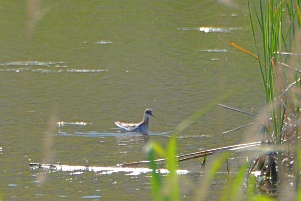 当地で撮った99番目の鳥アカエリヒレアシシギ/カワセミ一番子_b0024798_15145952.jpg