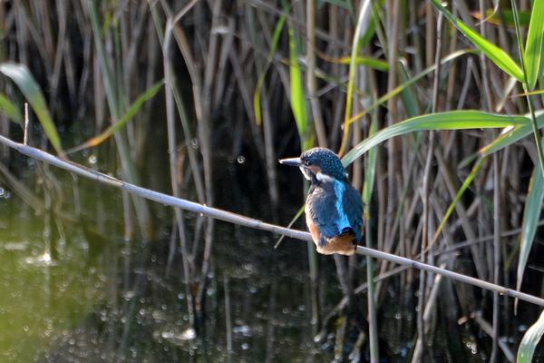 当地で撮った99番目の鳥アカエリヒレアシシギ/カワセミ一番子_b0024798_1519158.jpg