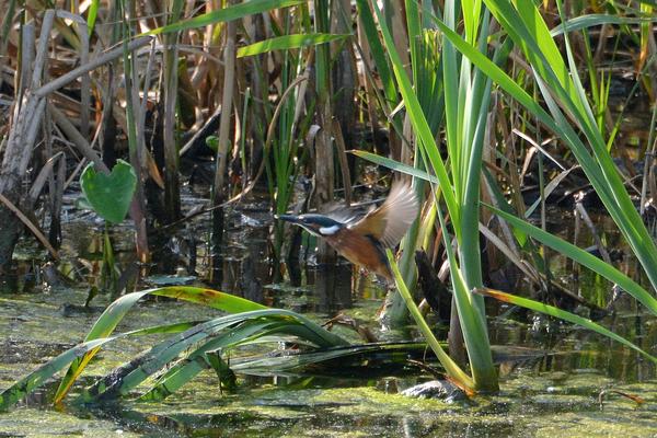 当地で撮った99番目の鳥アカエリヒレアシシギ/カワセミ一番子_b0024798_15213582.jpg