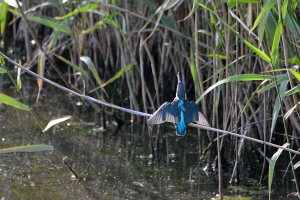 当地で撮った99番目の鳥アカエリヒレアシシギ/カワセミ一番子_b0024798_15215618.jpg