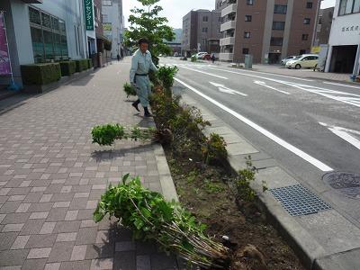 紫陽花プロジェクト進行中!!_d0050503_9493696.jpg