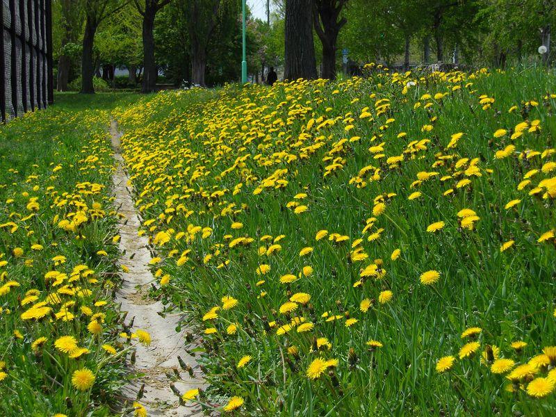 春のタンポポ一斉開花もそろそろ終わり 山も残雪状態_c0025115_19211510.jpg