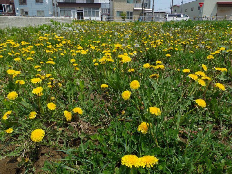 春のタンポポ一斉開花もそろそろ終わり 山も残雪状態_c0025115_19211760.jpg