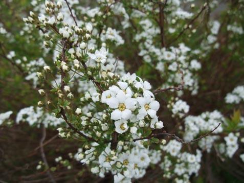 ユキヤナギ咲いています_d0072917_19311149.jpg