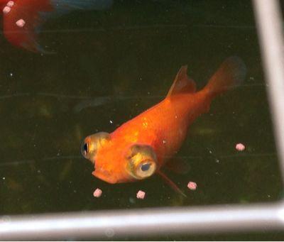 今日の金魚さん_d0322040_1111055.jpg