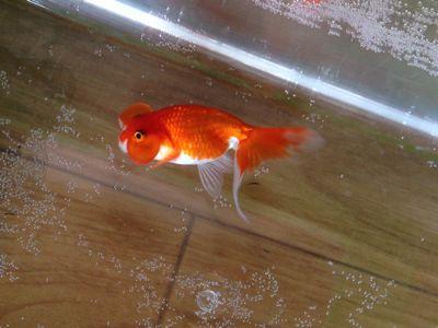 今日の金魚さん_d0322040_1111173.jpg