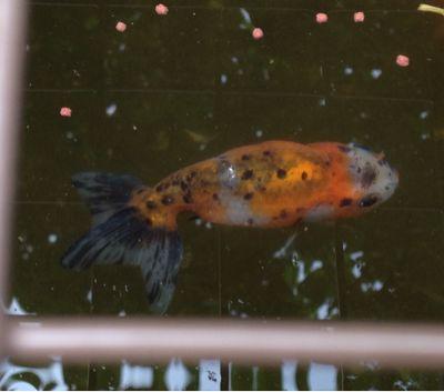 今日の金魚さん_d0322040_111828.jpg