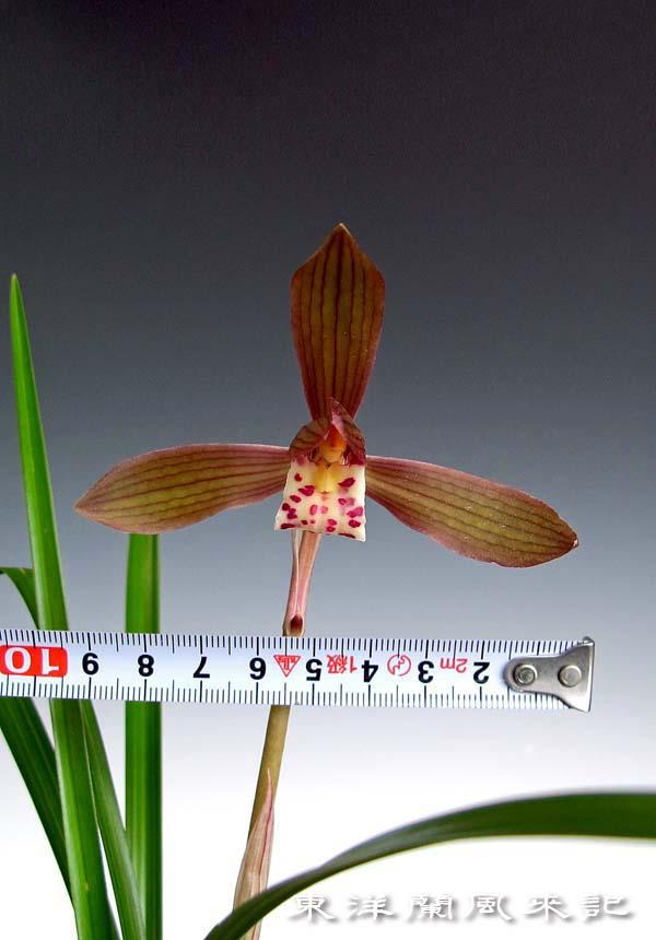 春蘭「紫紅梅」                     No.1400_d0103457_0144864.jpg