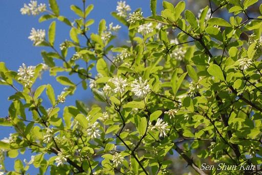 イボタノキの白い花_a0164068_22344921.jpg