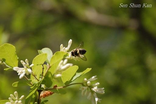 イボタノキの白い花_a0164068_22355034.jpg