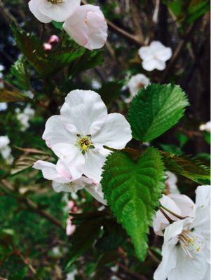桜・・・_f0096216_20355337.jpg
