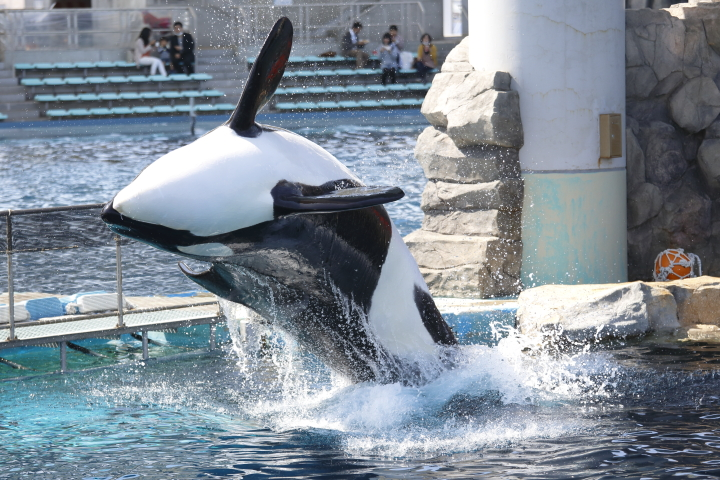Port of Nagoya Public Aquarium 【Orcinus orca  May 2014】_f0253927_22502237.jpg