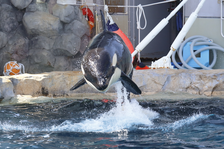 Port of Nagoya Public Aquarium 【Orcinus orca  May 2014】_f0253927_2252038.jpg
