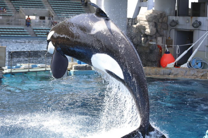 Port of Nagoya Public Aquarium 【Orcinus orca  May 2014】_f0253927_22522760.jpg