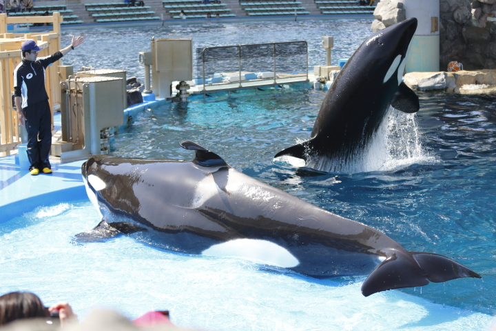 Port of Nagoya Public Aquarium 【Orcinus orca  May 2014】_f0253927_22524277.jpg