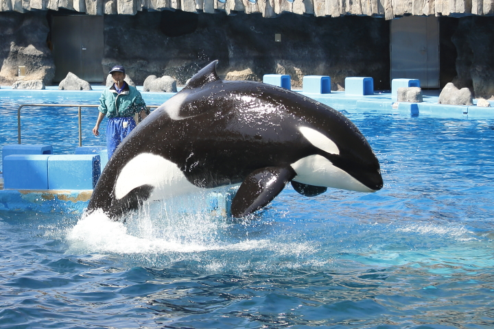 Port of Nagoya Public Aquarium 【Orcinus orca  May 2014】_f0253927_2252596.jpg