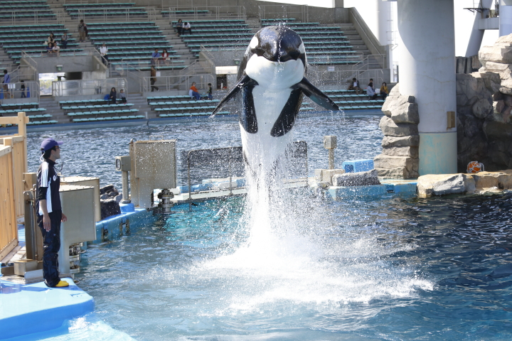 Port of Nagoya Public Aquarium 【Orcinus orca  May 2014】_f0253927_22531774.jpg