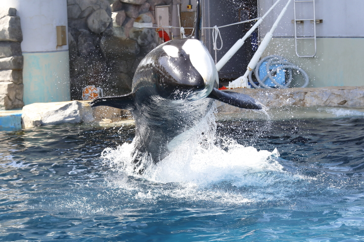 Port of Nagoya Public Aquarium 【Orcinus orca  May 2014】_f0253927_22533287.jpg