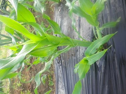 朝から畑の水やりです。_a0139242_5224683.jpg