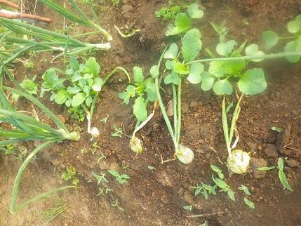 朝から畑の水やりです。_a0139242_5243956.jpg