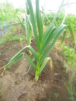 朝から畑の水やりです。_a0139242_5252484.jpg