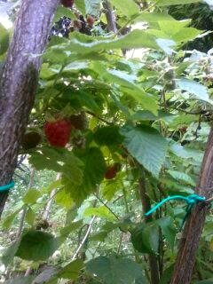 お庭のラズベリー2014_a0169172_5352647.jpg